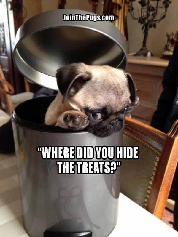 Where did you hide the treats - Join the Pugs