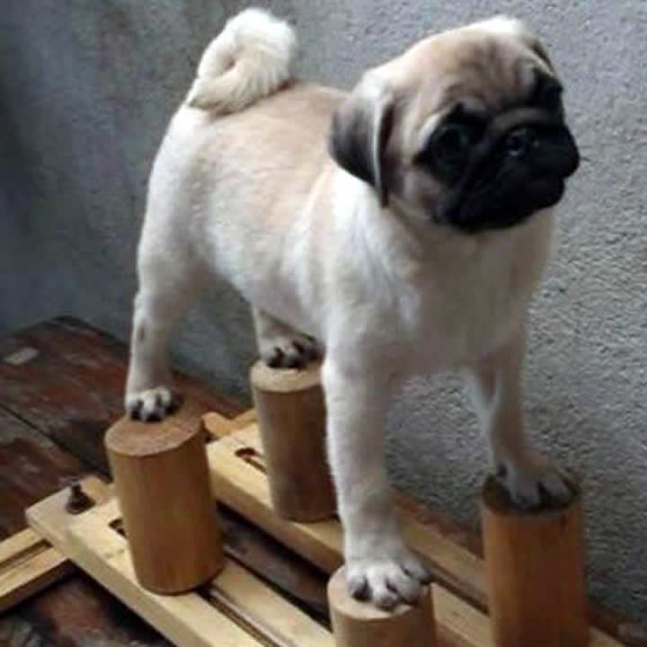 How did you get a Pug to stand still like this?
