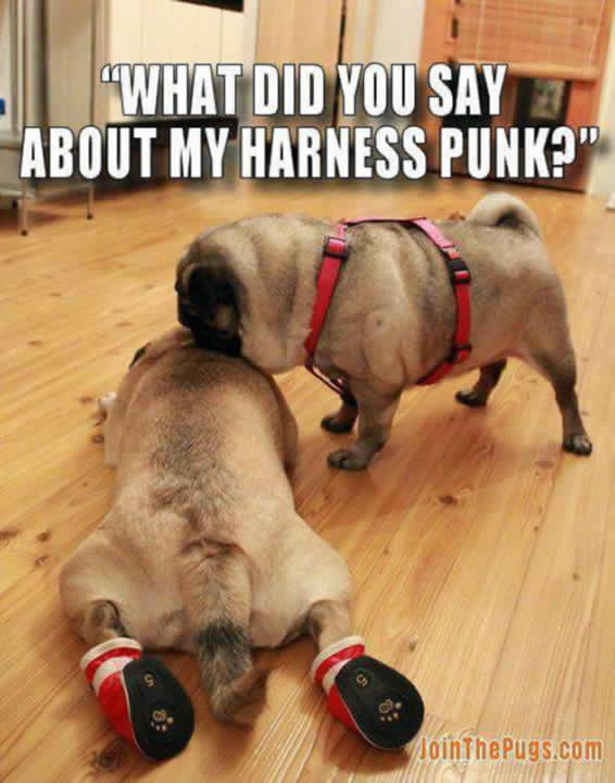Pugs engage in ruff play