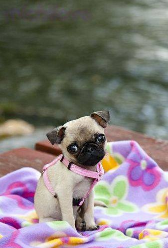 Adorable baby Puglet
