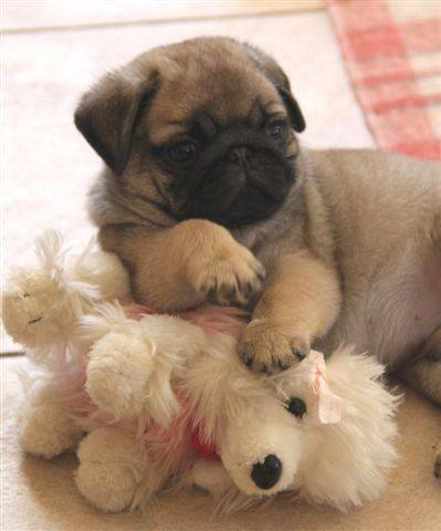 Pug puppy plays with toy