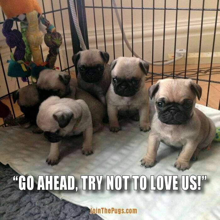 Try not to love these Pugs