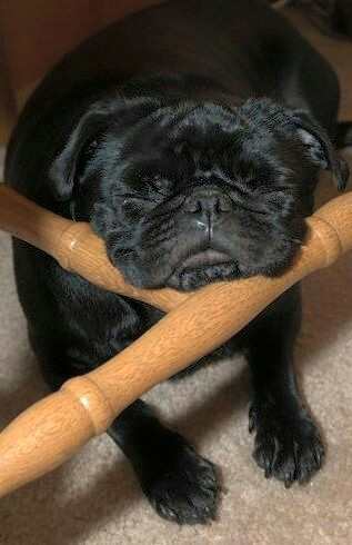 Pug sleeps until the weekend