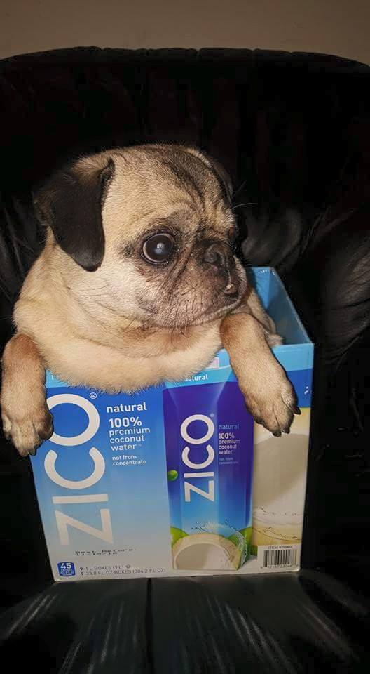 Pugs love coconut water