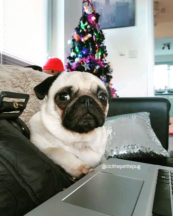 Adorable Cici the Pug looking pretty