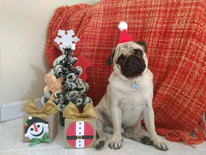 How pawsome is Bruno the Pug's Christmas tree?
