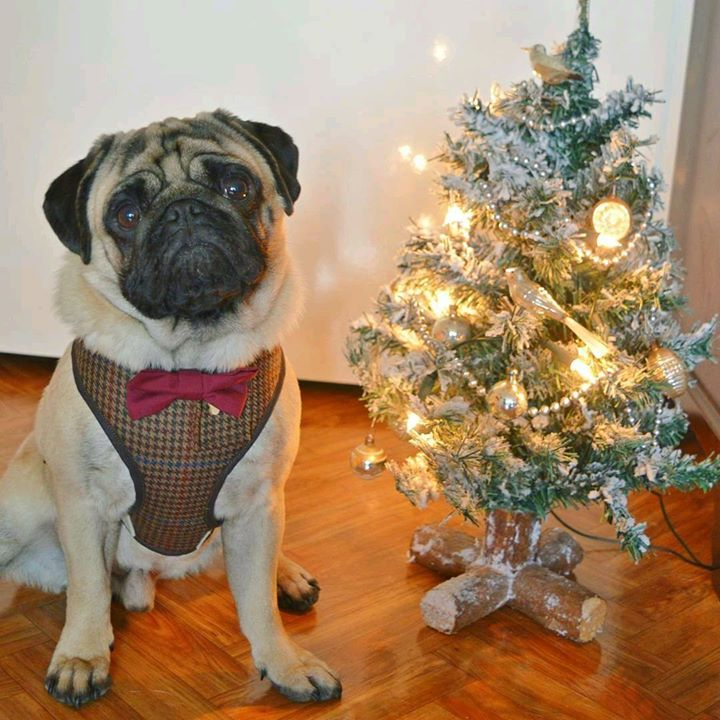 The Pug Arthur and his Christmas tree