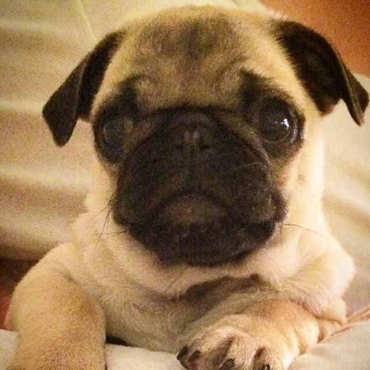 Could You Say No to Ingolf the Pug?