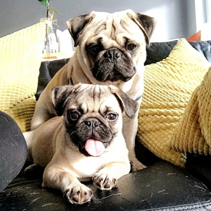 Double Pug cuteness with Gaston and Bruce