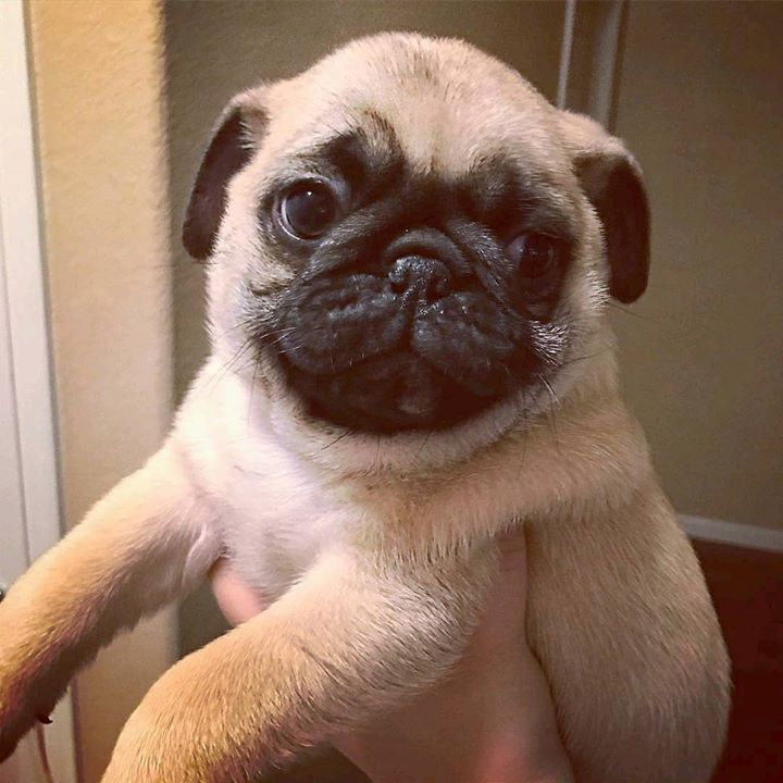 Dwight the Pug is Adorable