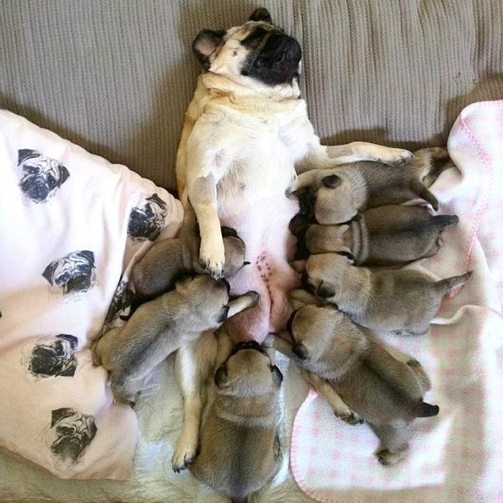 Momma Pug Feeds Her 7 Puglets