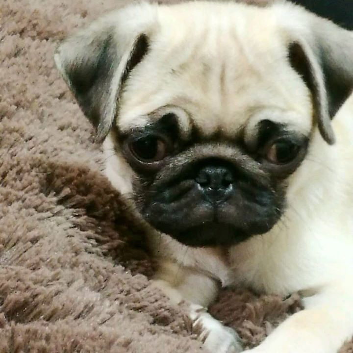 We Love Pinoko the Pug