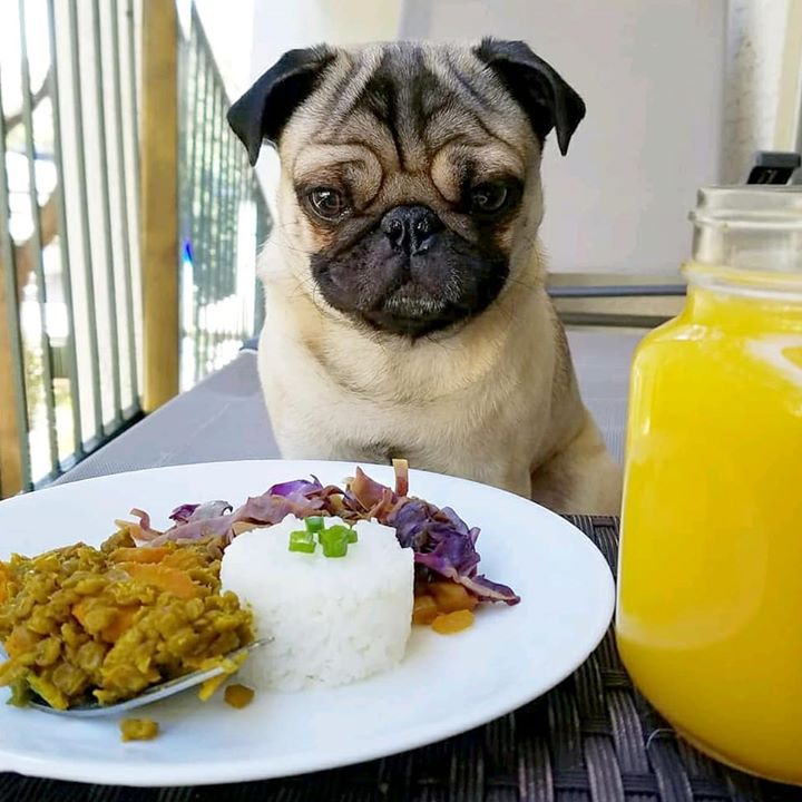 Where's My Meal Hooman Pug