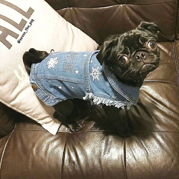 Cute Black Pug In Jeans Outfit with Eevee
