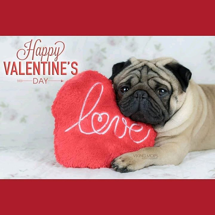 Happy Valentine's Day Pug with Viking Mops