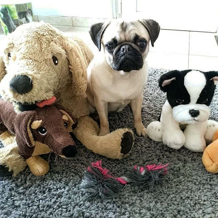 Mika a Pug and His Toys