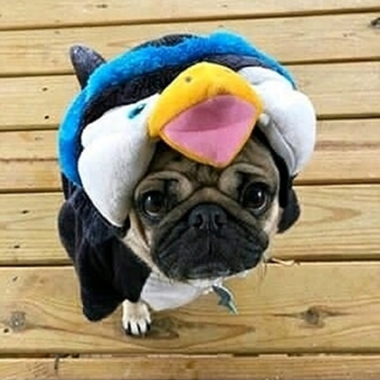Pug Asks Do You Like My Outfit