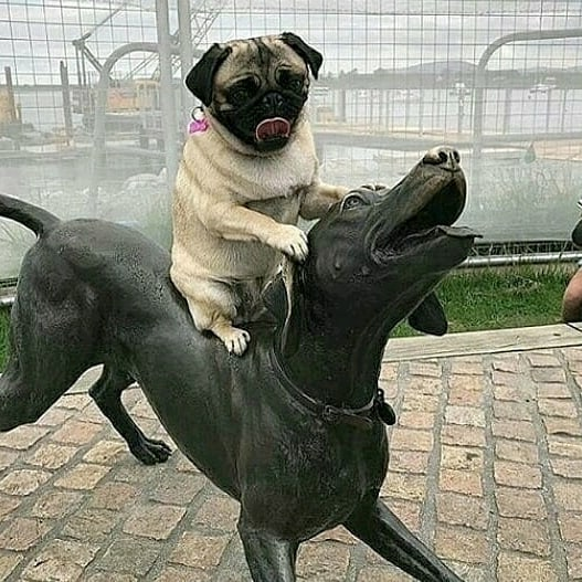 Pug Conquers All