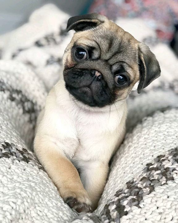 A Pug Named Tug Is Too cute