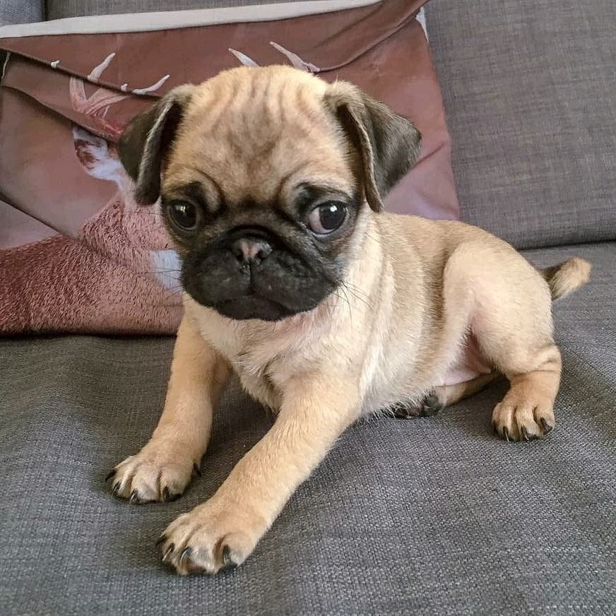 Liv the Pug is tiny yet fiercely cute