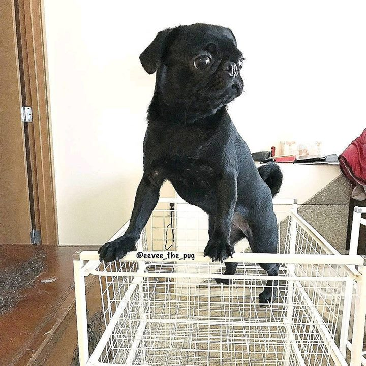 Pug asks how did I get up here?